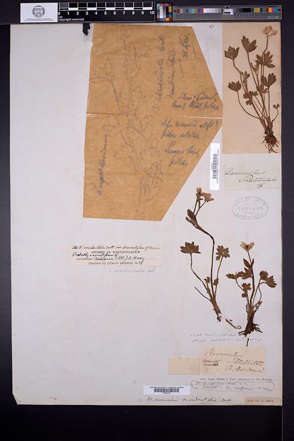 Ranunculus occidentalis image