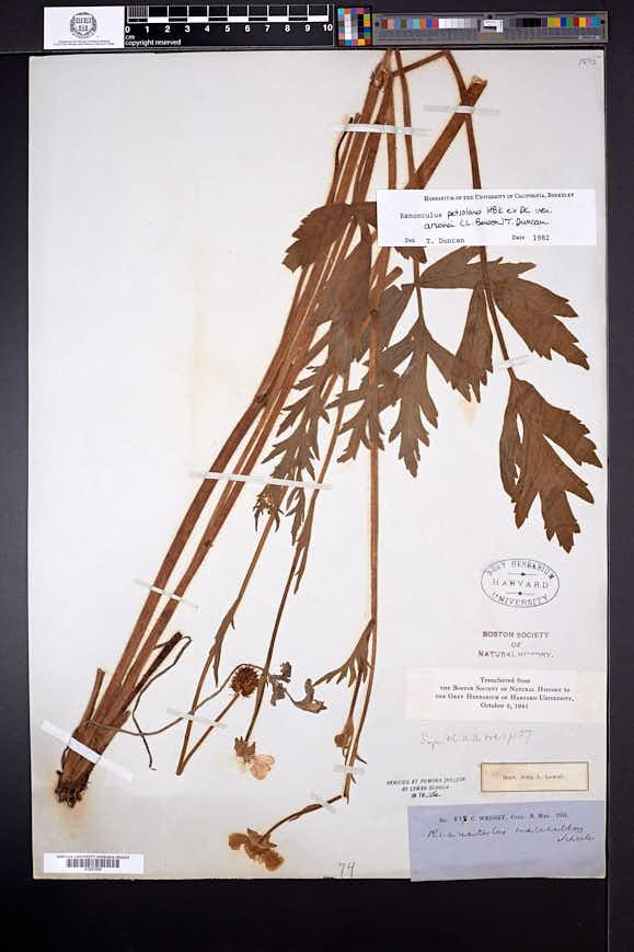 Ranunculus fasciculatus image