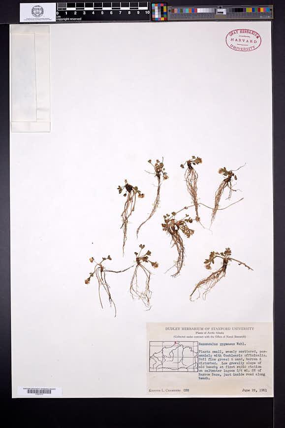 Ranunculus pygmaeus image