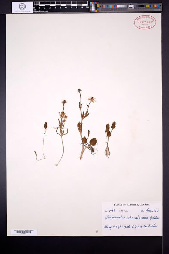 Ranunculus rhomboideus image