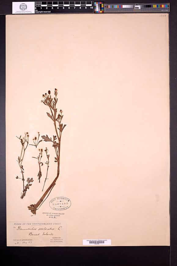 Ranunculus sceleratus image