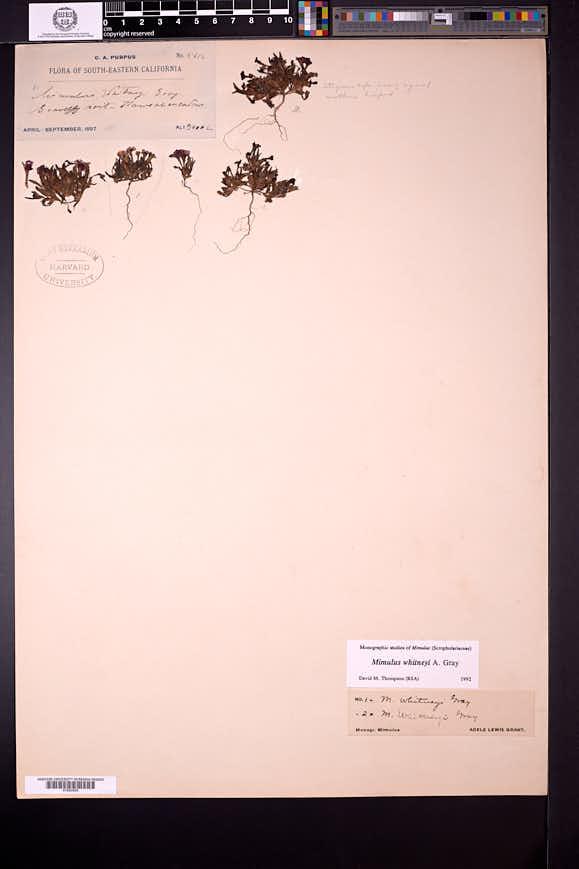 Diplacus whitneyi image