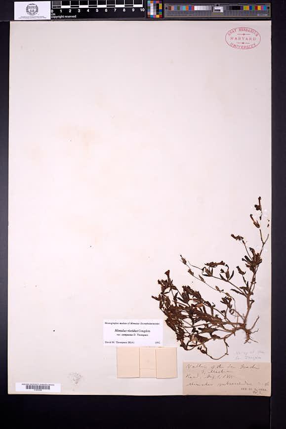 Image of Diplacus compactus