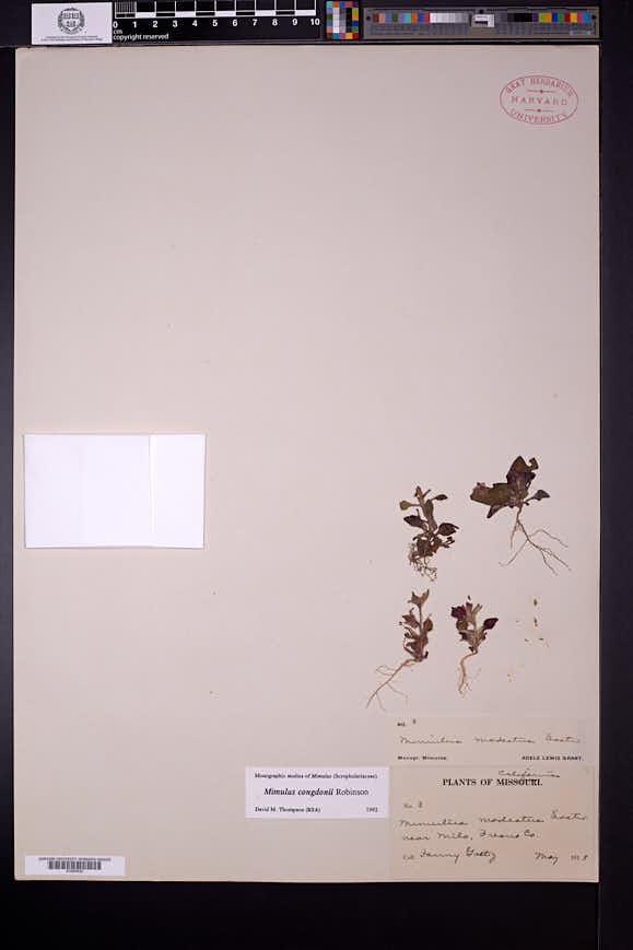 Image of Diplacus congdonii