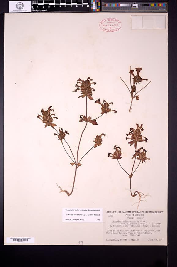 Diplacus constrictus image