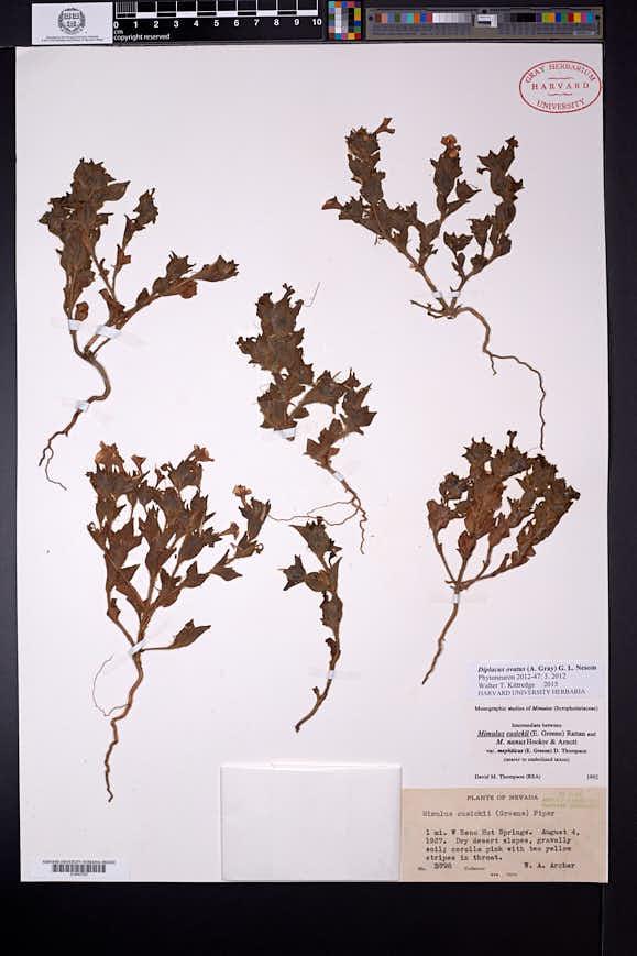 Diplacus ovatus image