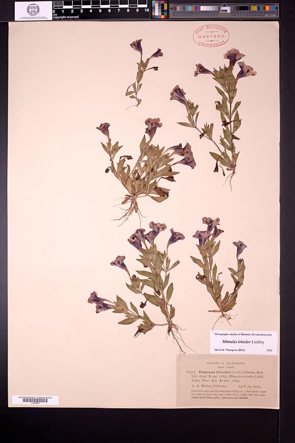 Diplacus tricolor image