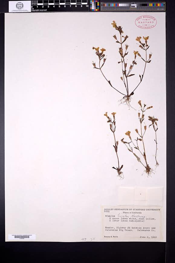 Erythranthe bicolor image