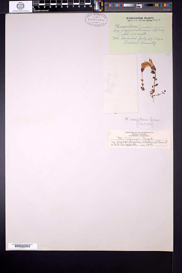 Erythranthe caespitosa image