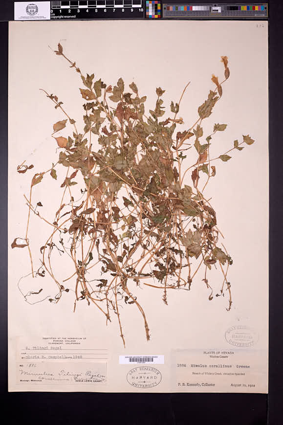 Erythranthe corallina image
