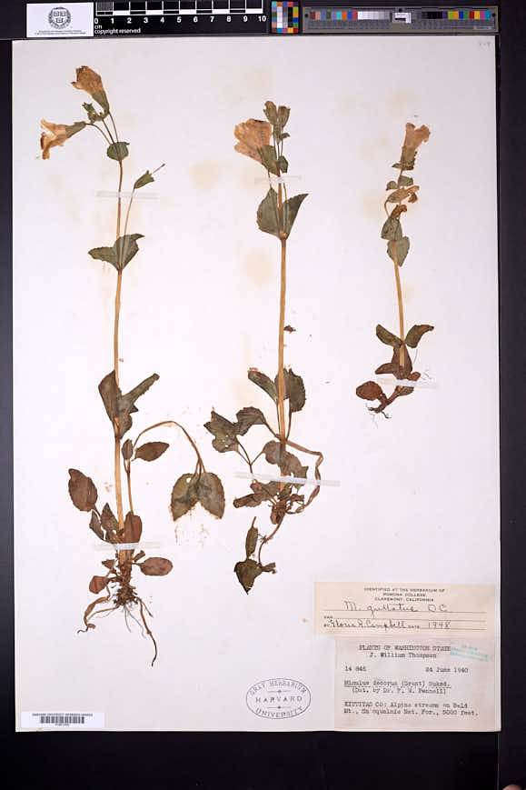 Erythranthe decora image