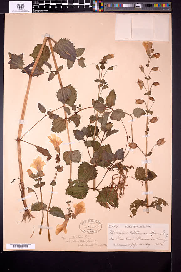 Image of Erythranthe decora