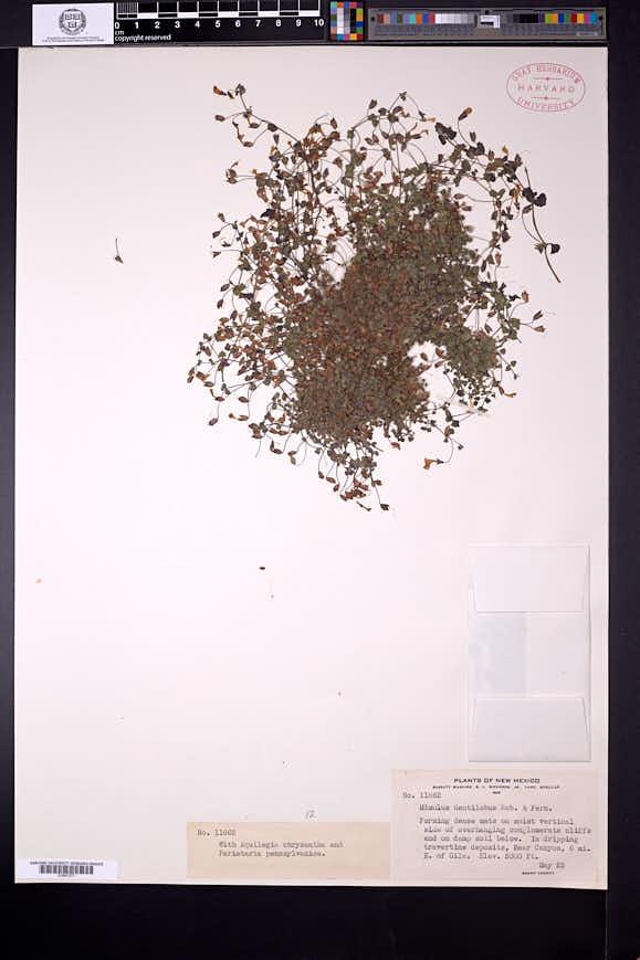 Erythranthe dentiloba image