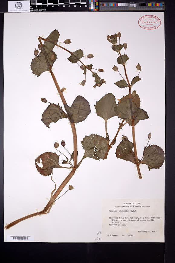 Erythranthe inamoena image