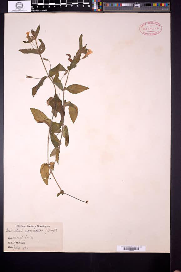 Erythranthe inodora image