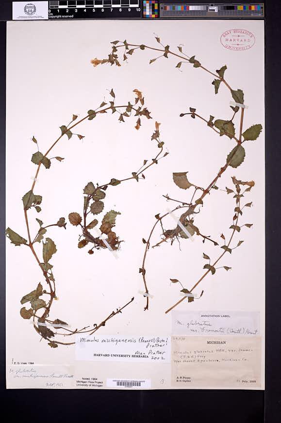 Erythranthe michiganensis image