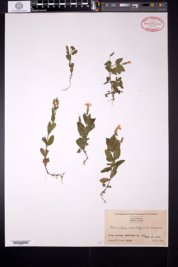Erythranthe moniliformis image