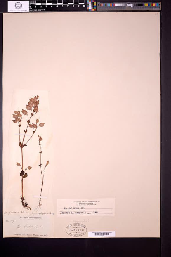 Erythranthe microphylla image
