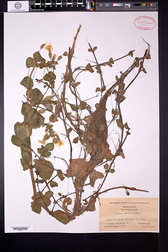 Erythranthe nasuta image