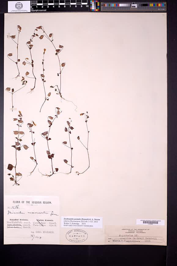 Erythranthe pardalis image