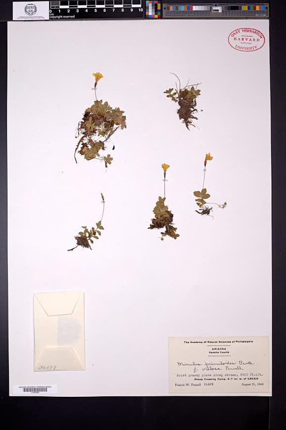 Erythranthe primuloides image