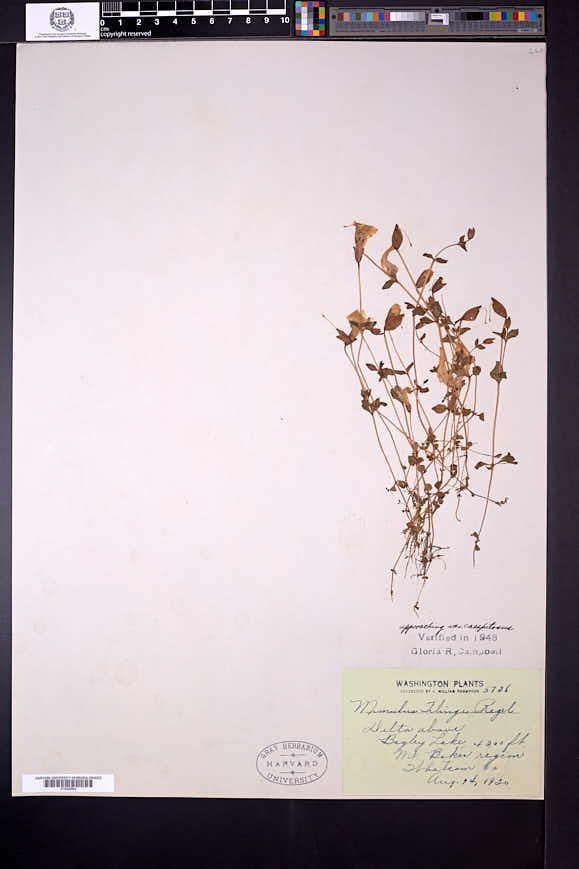 Erythranthe tilingii image