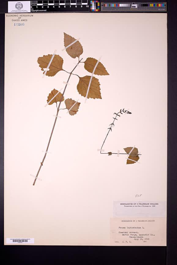 Phryma leptostachya image
