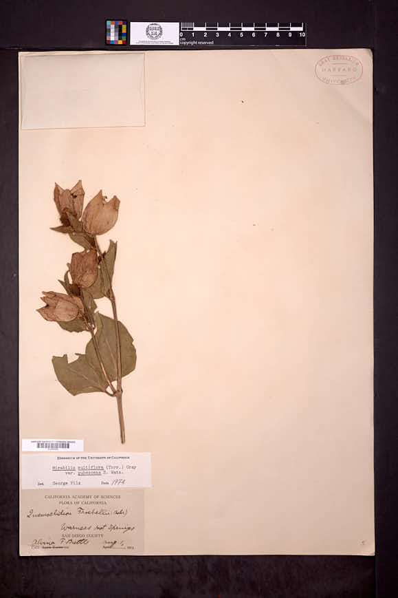 Mirabilis multiflora var. pubescens image
