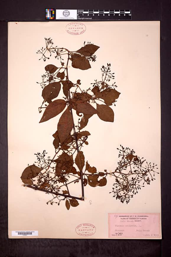 Pisonia aculeata image