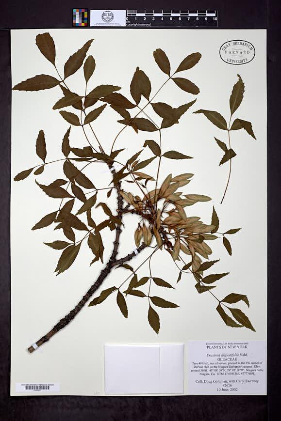 Image of Fraxinus angustifolia