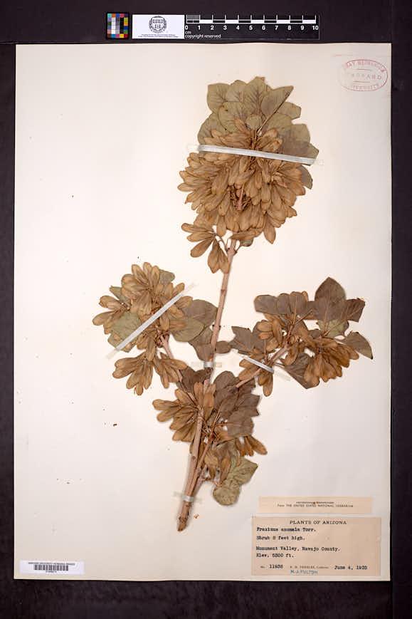 Fraxinus anomala image