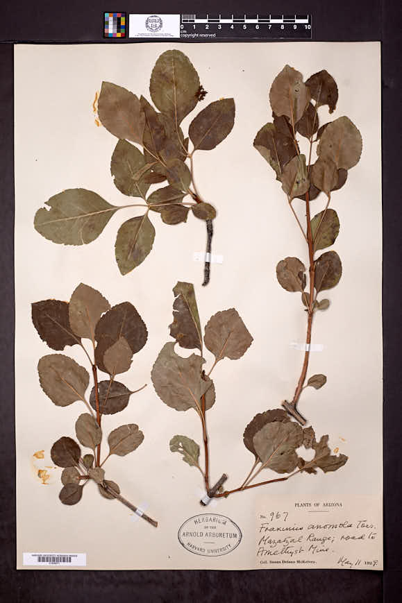 Fraxinus anomala var. lowellii image
