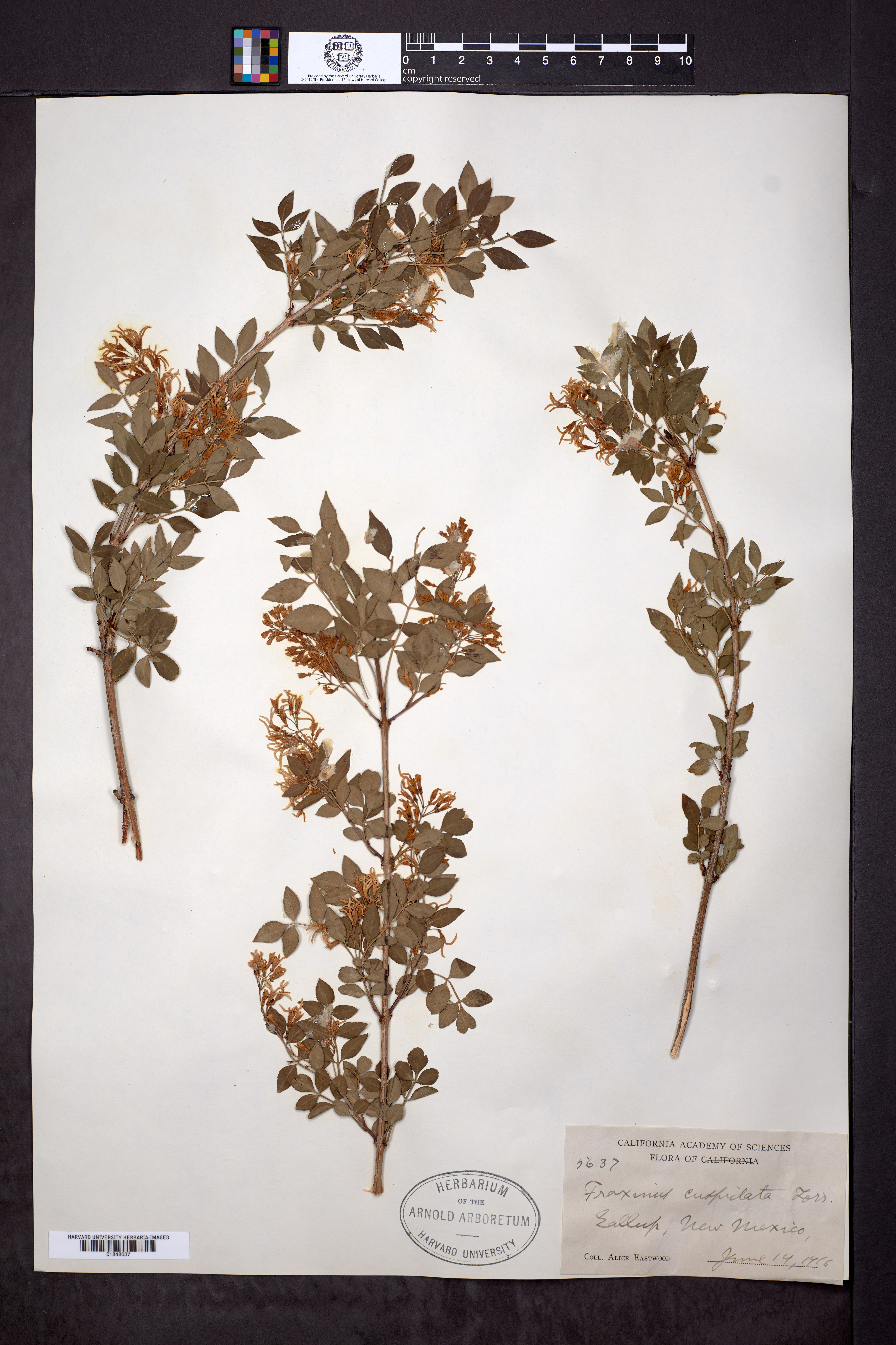 Fraxinus cuspidata image