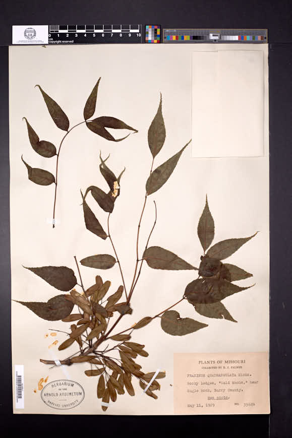 Fraxinus quadrangulata image