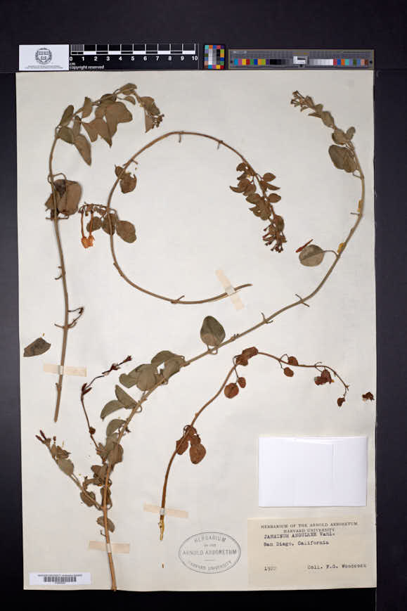 Jasminum angulare image