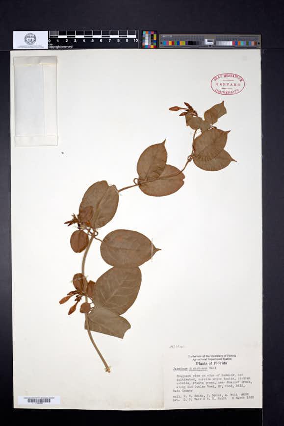 Jasminum dichotomum image