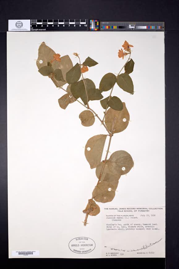 Jasminum sambac image