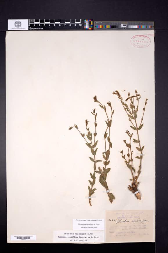 Menodora longiflora image