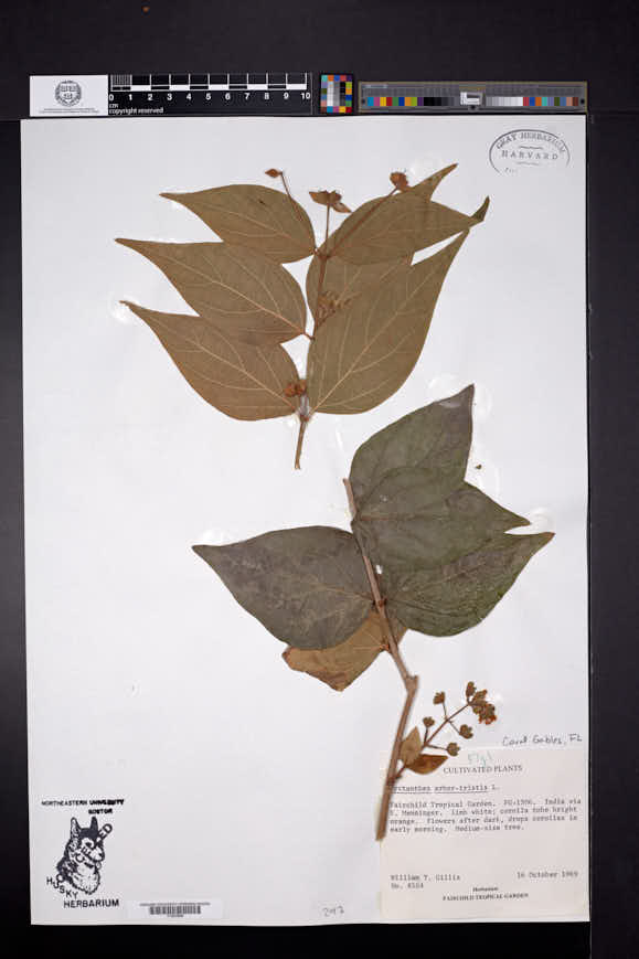 Image of Nyctanthes arbor-tristis