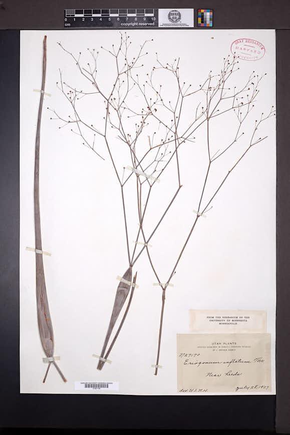Eriogonum inflatum image