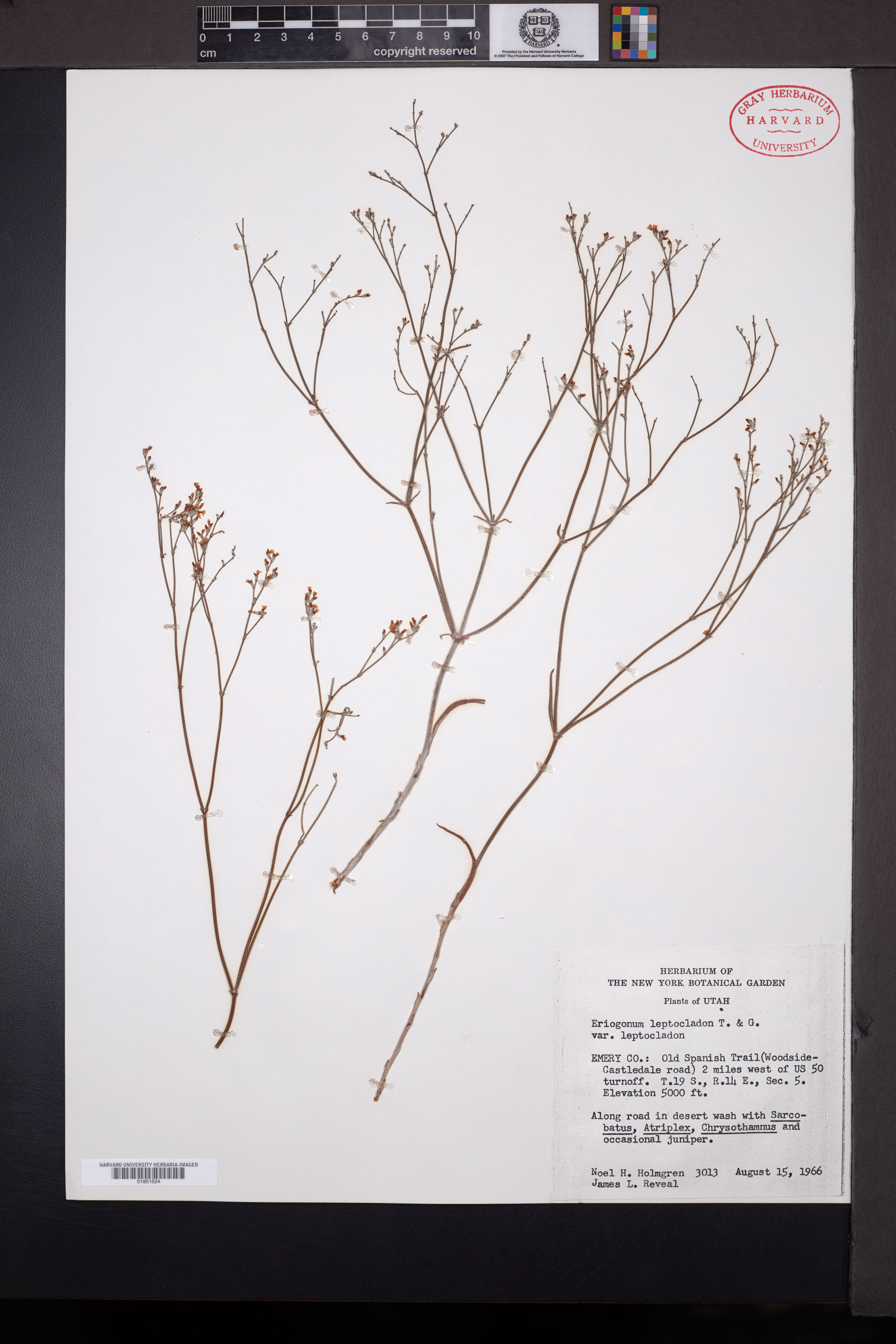 Eriogonum leptocladon image
