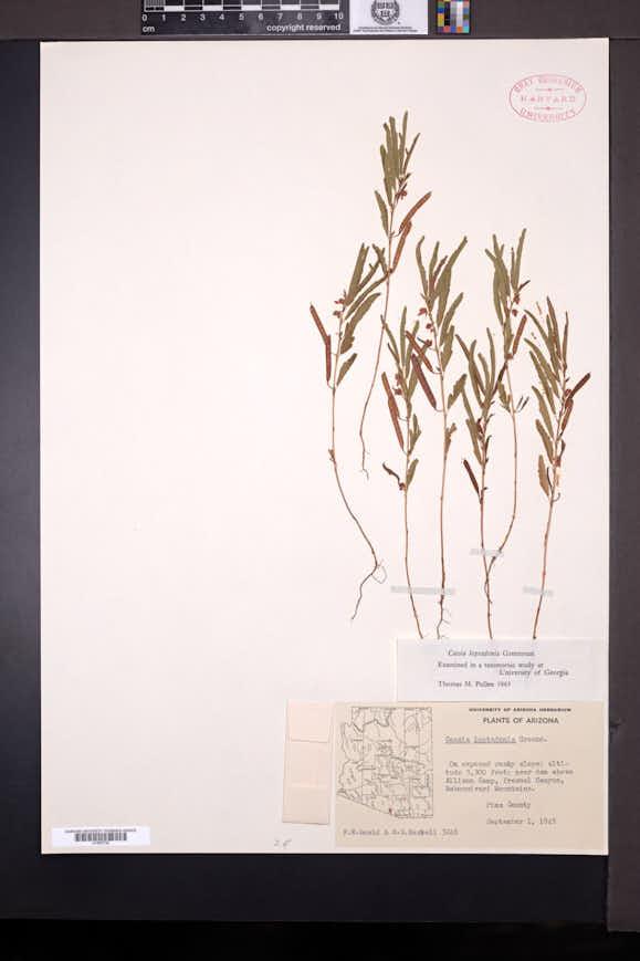 Chamaecrista nictitans var. mensalis image
