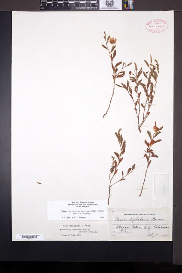 Chamaecrista serpens var. wrightii image