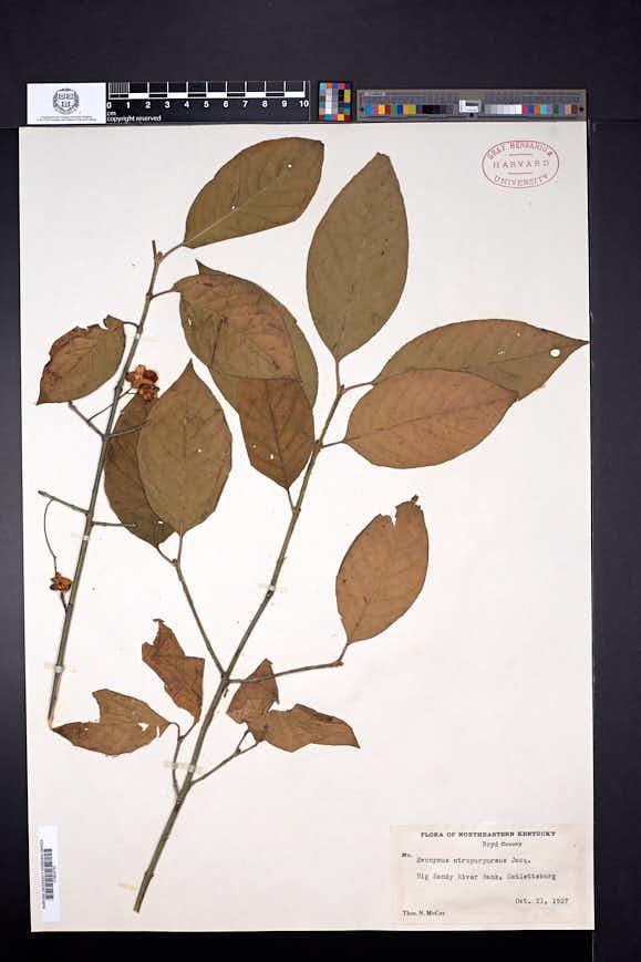 Euonymus atropurpureus image