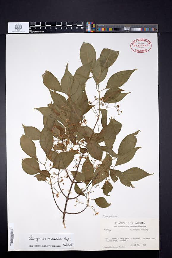 Euonymus maackii image