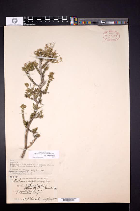 Mortonia sempervirens image