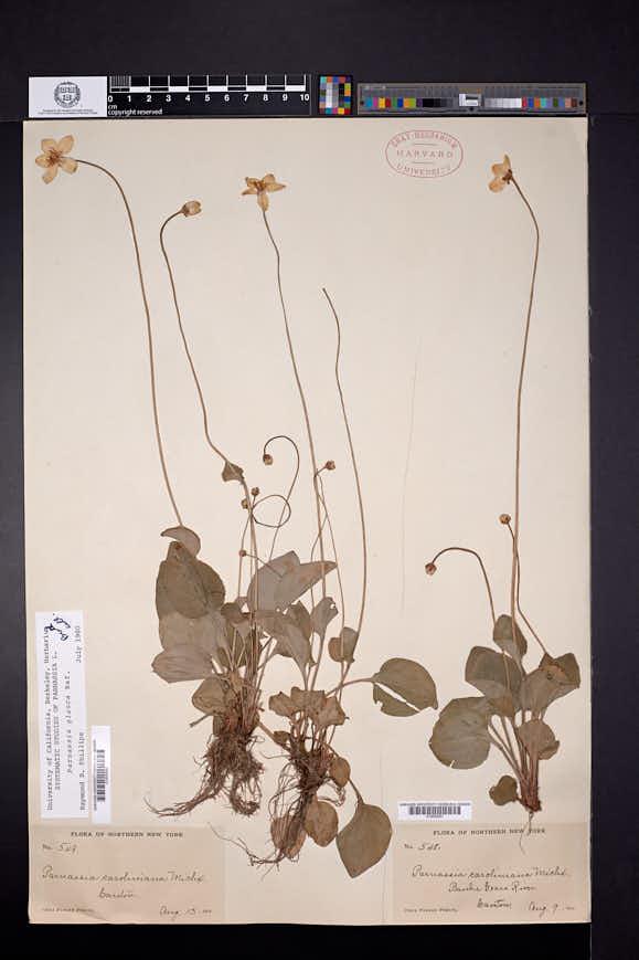 Parnassia glauca image
