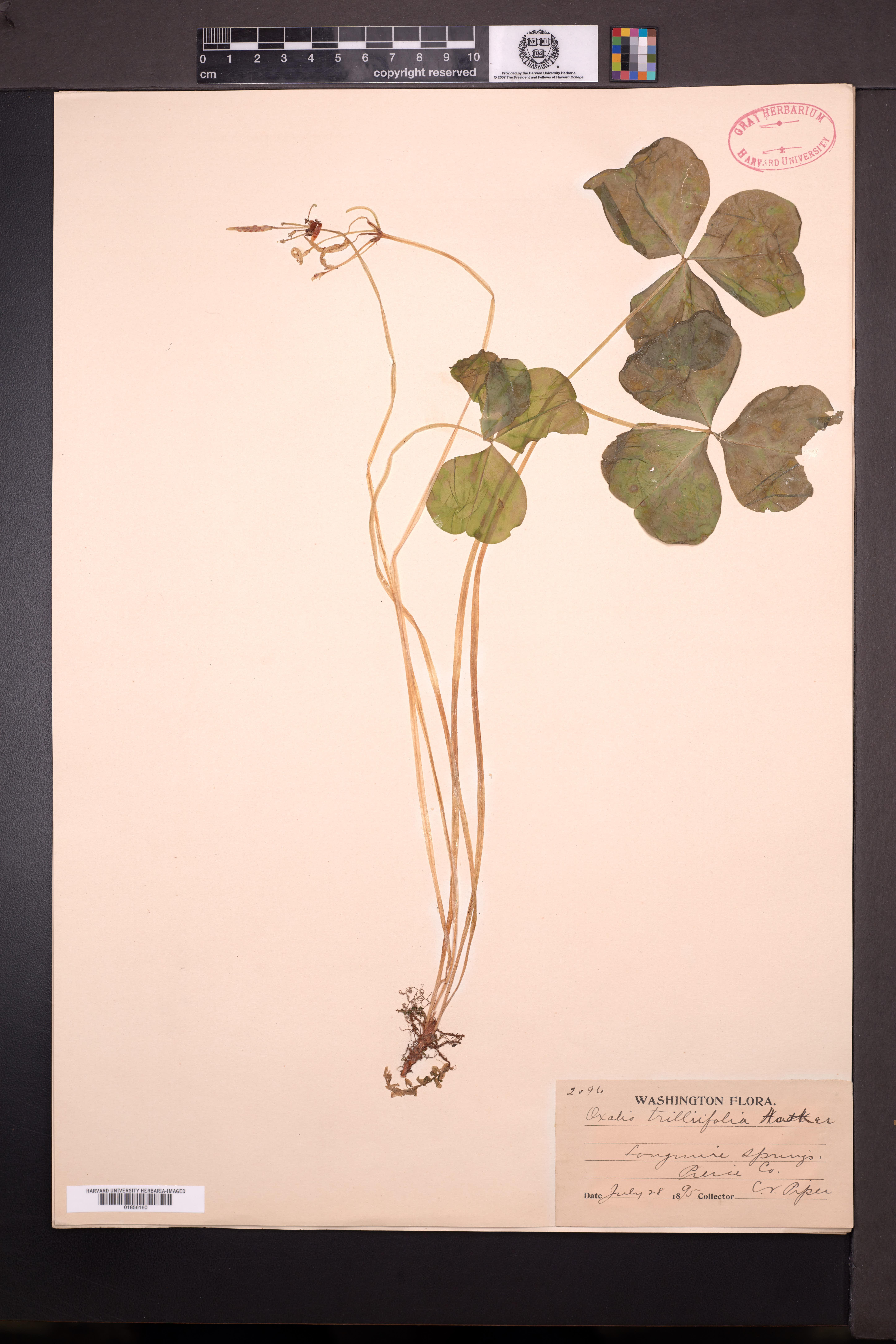 Oxalis trilliifolia image