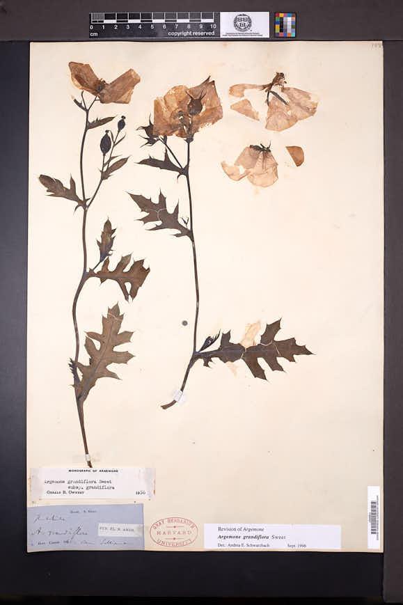 Image of Argemone grandiflora