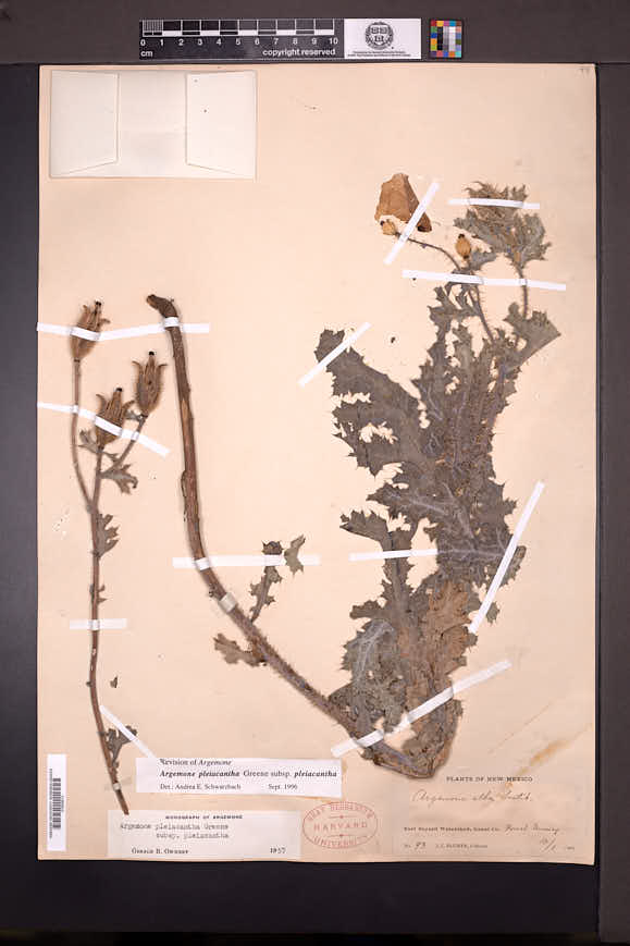 Argemone pleiacantha image